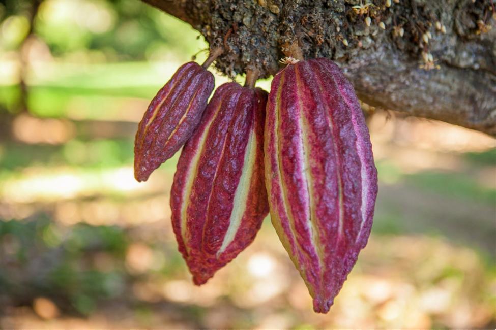Плантации фабрики Chocolaterie Robert Мадагаскар