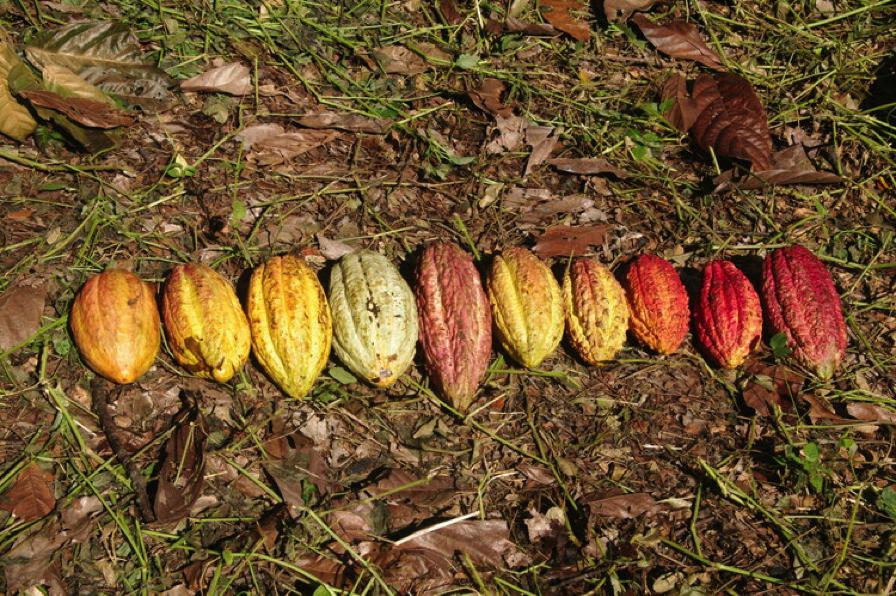 Экологически чистый шоколад Chocolaterie Robert. Как его выращивают