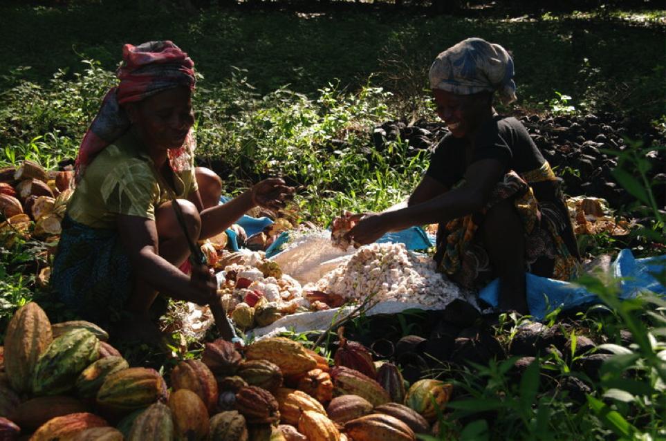Выгодно ли фермерам выращивать какао?