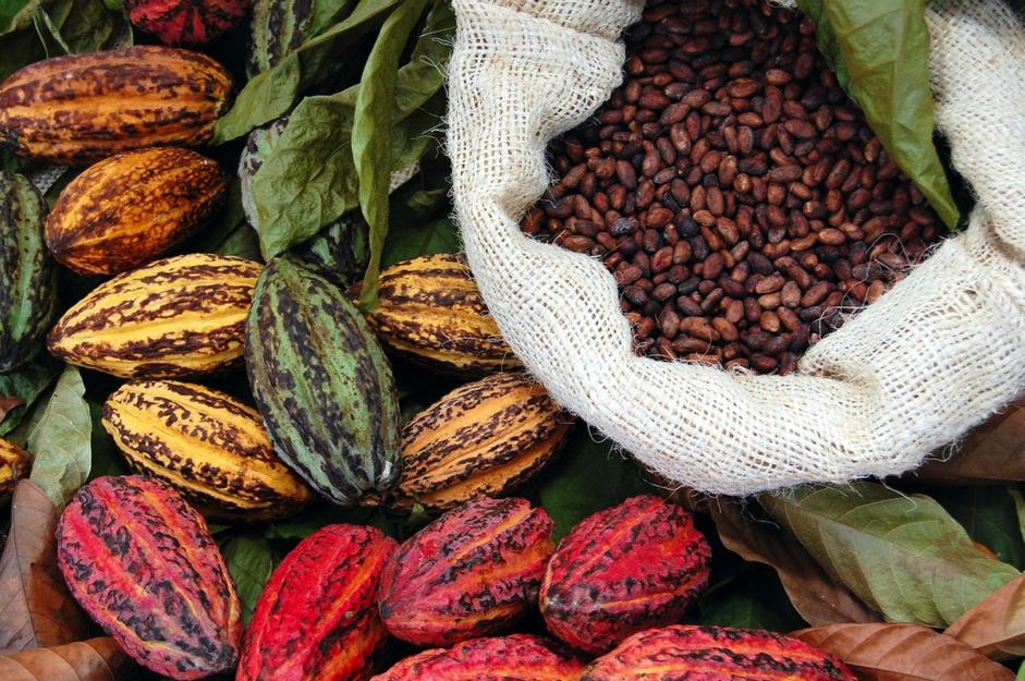 Как выращивают какао-бобы и собирают урожай