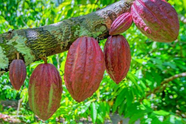 Как часто местные жители острова Мадагаскар позволяют себе шоколад